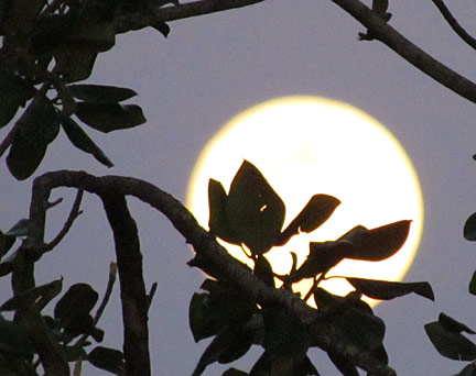 Leaves and rising moon (R Hoover)